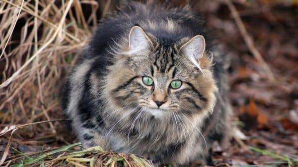 Норвежская лесная кошка красивая порода