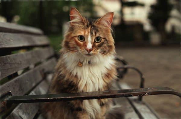Норвежская лесная кошка красивое фото