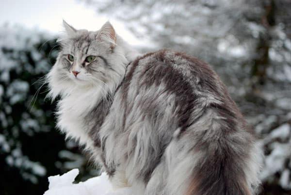 Норвежская лесная кошка на что обратить внимание