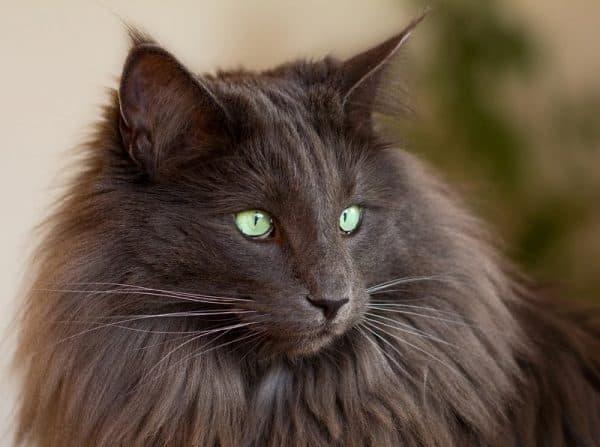 Норвежская лесная кошка питание
