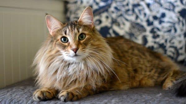 Норвежская лесная кошка прекрасная порода