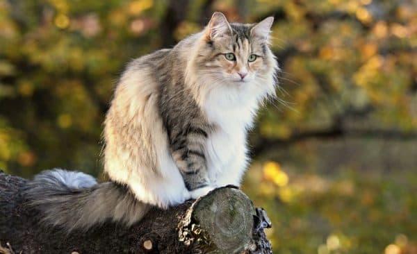Норвежская лесная кошка удивительная порода