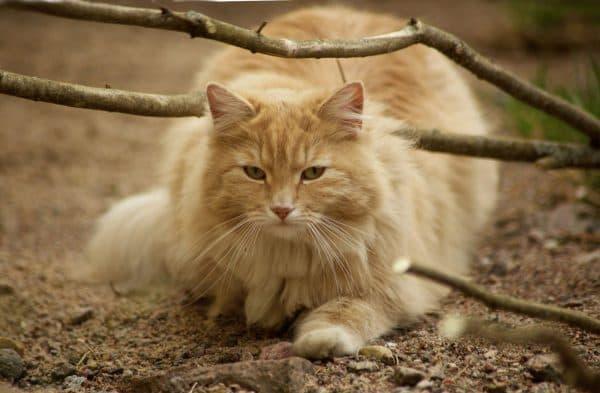 Норвежская лесная кошка. Описание породы, фото, видео, характер и цены.