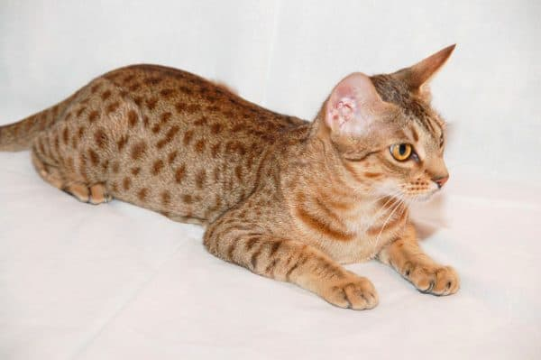 Оцикет кошка красивая порода
