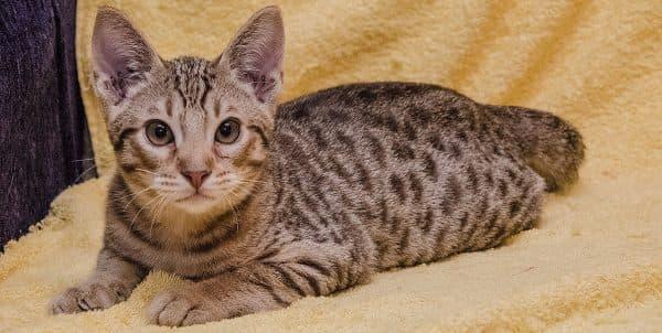 Оцикет кошка красивое фото