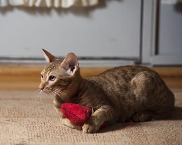 Оцикет кошка милая порода