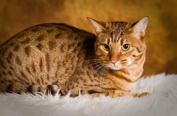 Оцикет кошка питание
