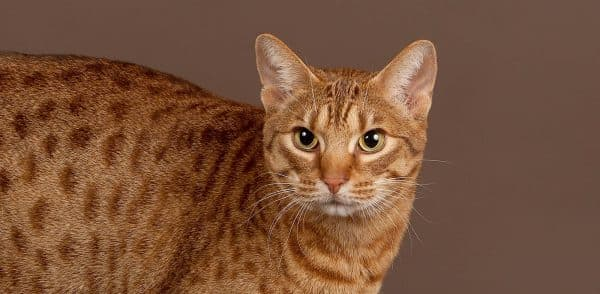 Оцикет кошка содержание