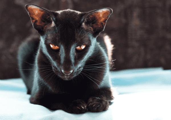 Ориентальная кошка читайте статью