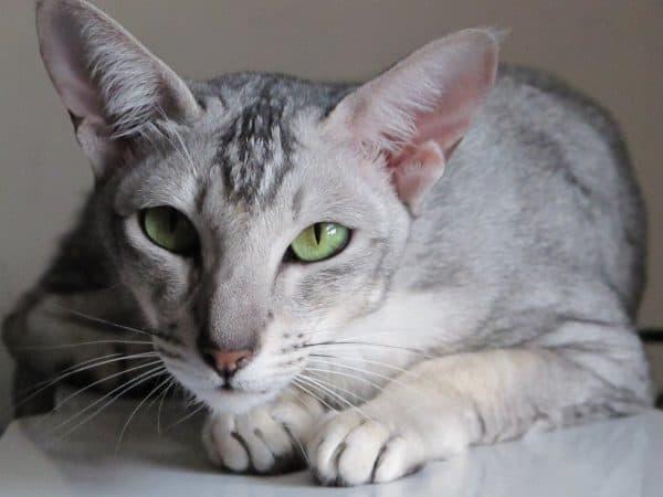 Ориентальная кошка милая порода