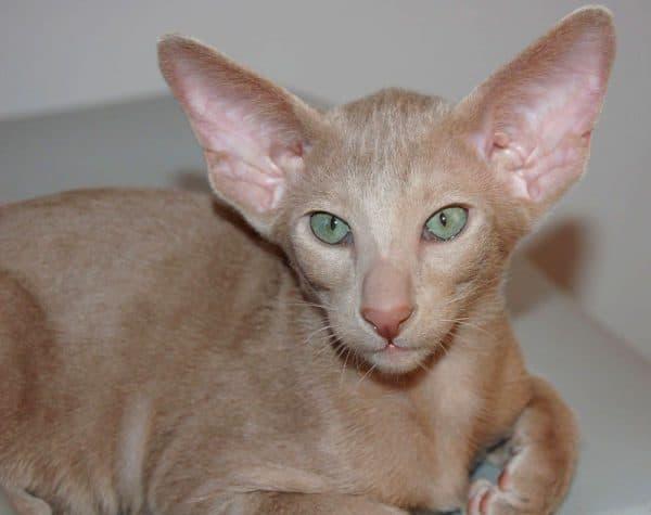 Ориентальная кошка окрас фавн