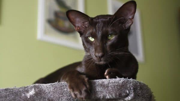 Ориентальная кошка удивительная порода