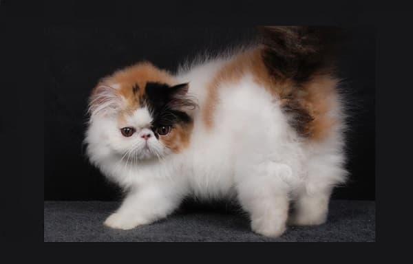 Персидская кошка арлекин