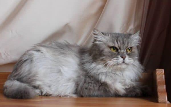 Персидская кошка дымчатая