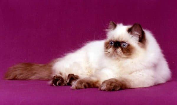 Персидская кошка колор-поинт (сиамская)