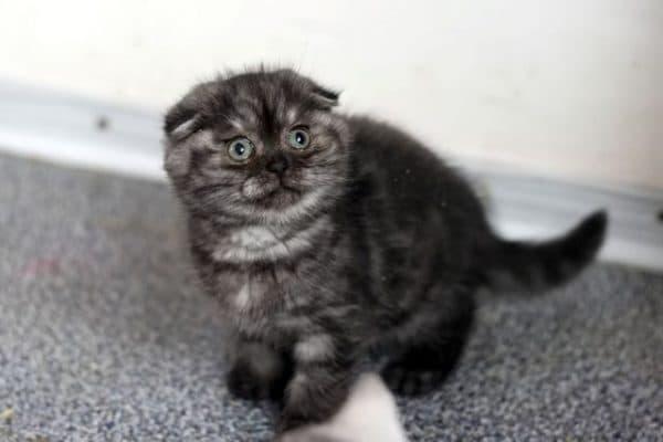 Персидская кошка пятнистая