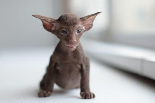 Петерболд. Описание породы, фото кошки, видео, характер и цены.