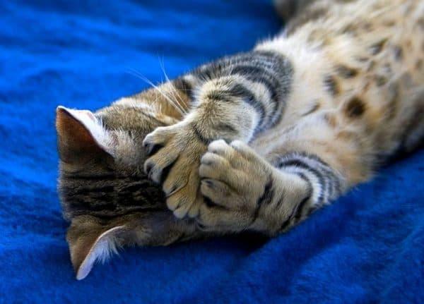 Пиксибоб прекрасная порода кошки