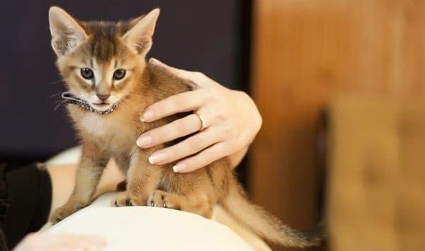 Порода кошек чаузи