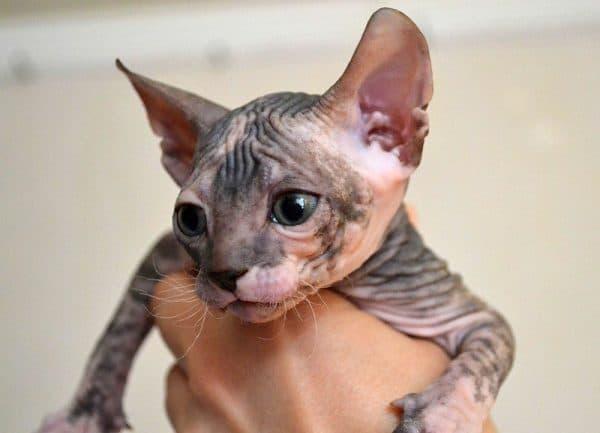Прекрасный котенок сфинкса