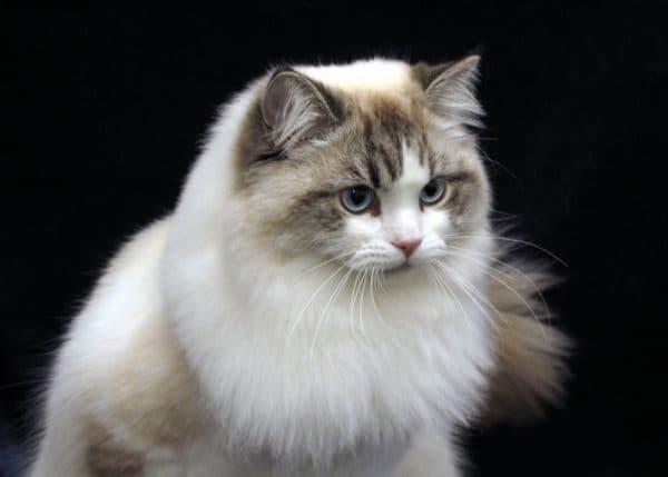 Рагамаффин красивая порода кошек