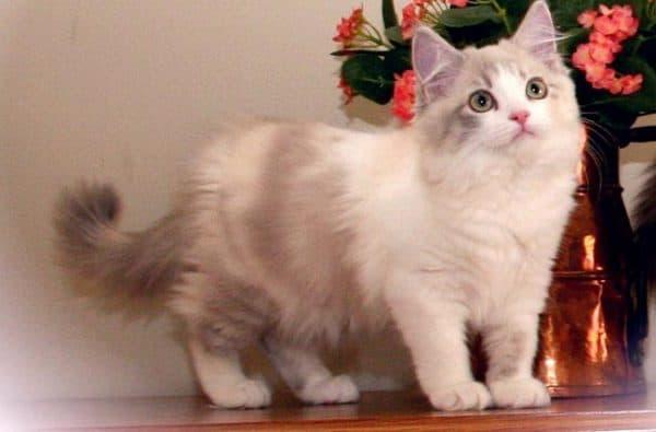 Рагамаффин милая порода кошек