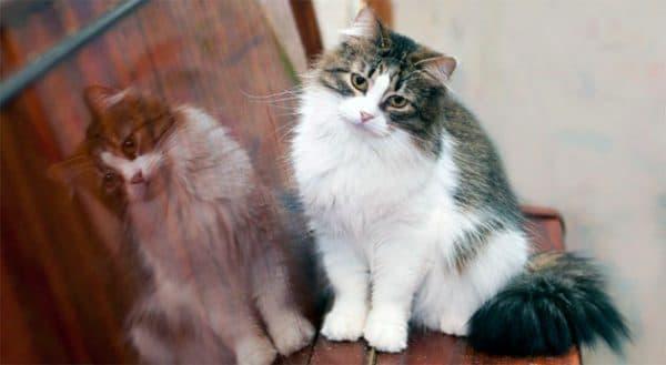 Рагамаффин удивительная порода кошек