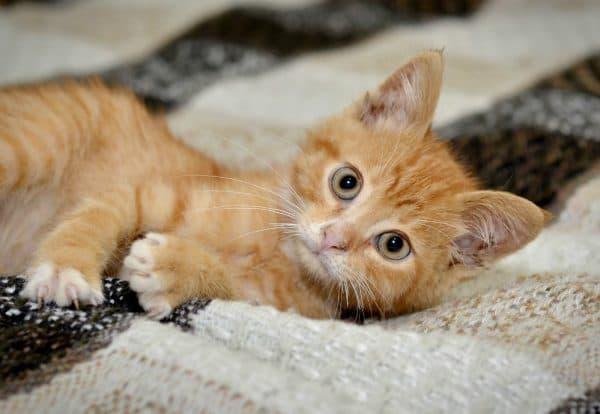 Рыженький миленький котенок