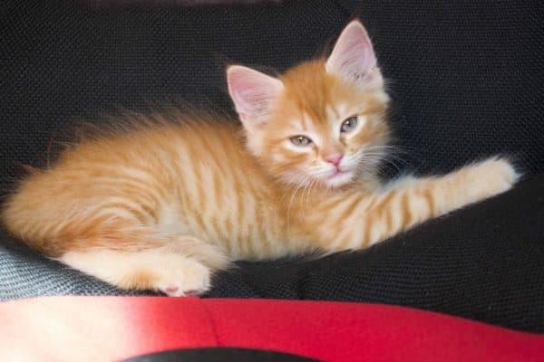 Рыжий красивый котенок
