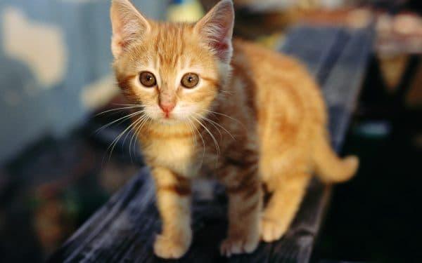 Рыжий прекрасный котенок