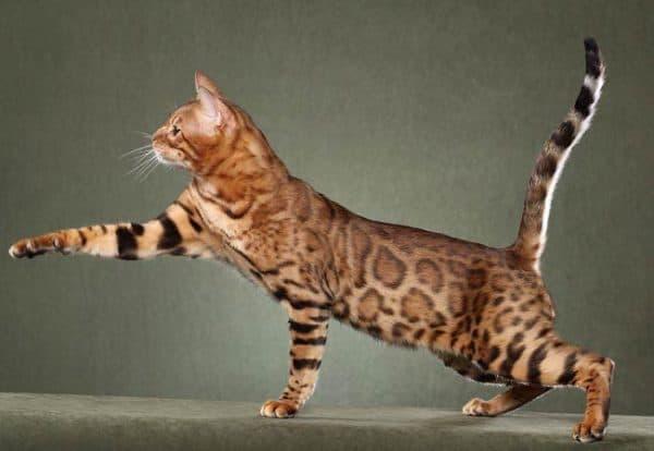 Саванна кошка описание