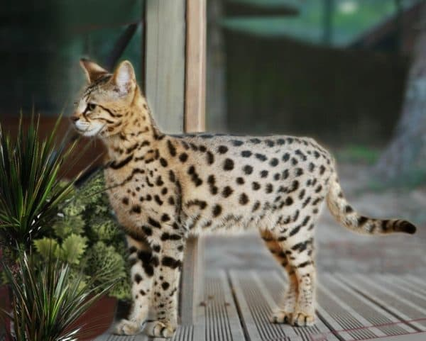 Саванна кошка смотрит