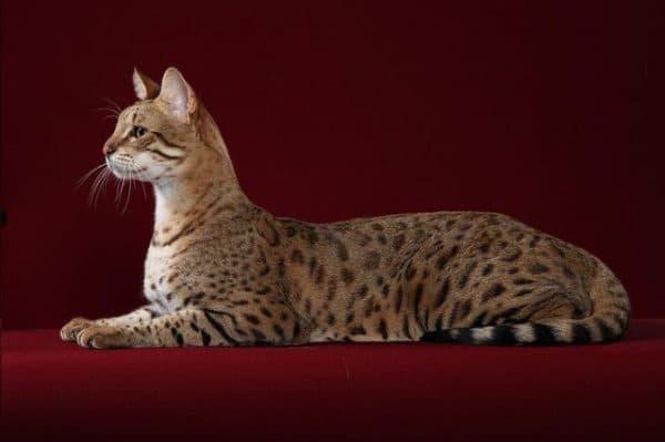 Саванна кошка удивительная порода