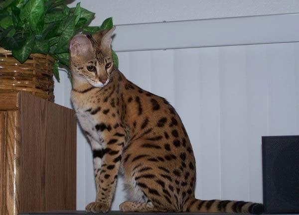 Саванна кошка. Описание породы, фото, видео, характер и цены.