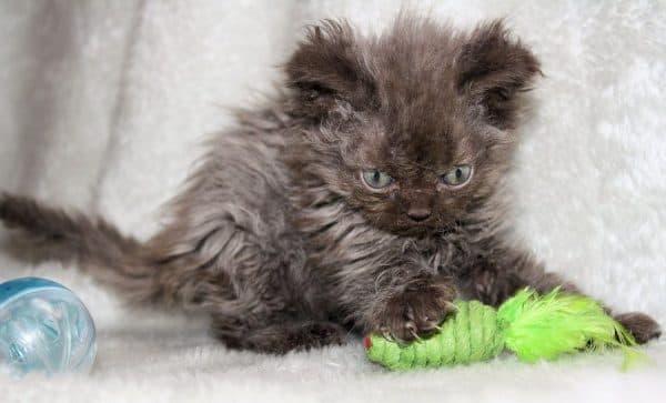 Селкирк рекс красивая порода кошек