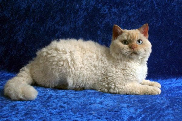 Селкирк рекс удивительная порода кошек