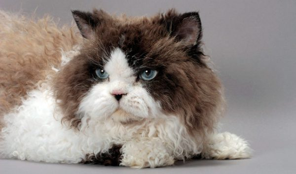 Селкирк рекс. Видео, фото кошки, характер, описание породы и цены.