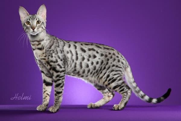 Серенгети кошка дымчатая