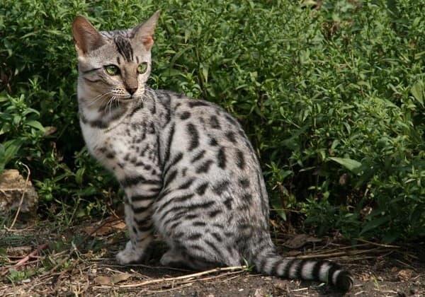 Серенгети кошка красивое фото