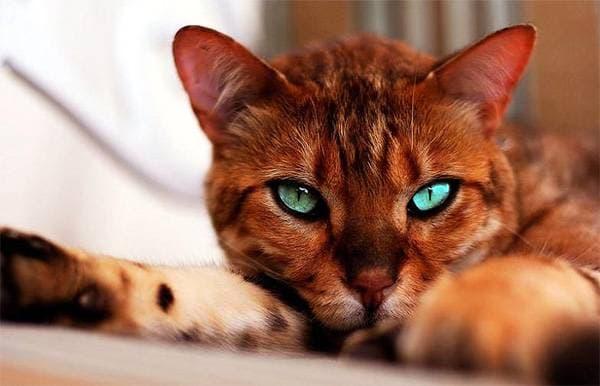 Серенгети кошка милая порода