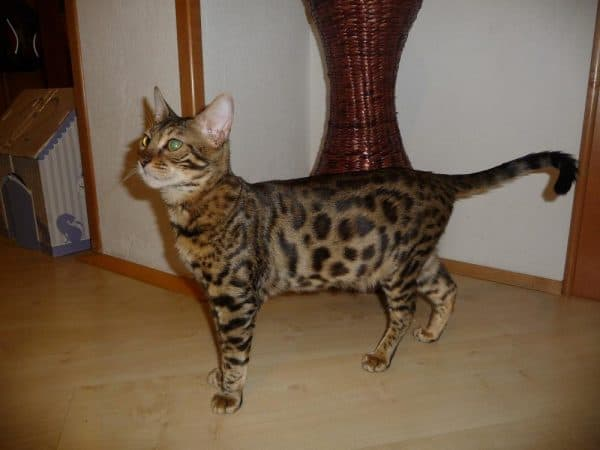Серенгети кошка описание