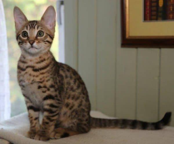 Серенгети кошка сидит