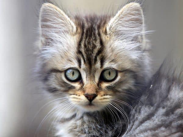 Серый котенок девочка