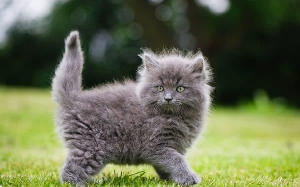 Серый красивый котенок