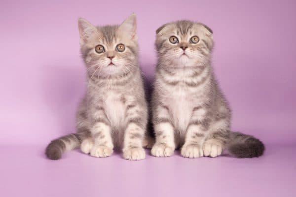 Шотландский котенок милый