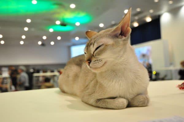 Сингапурская кошка красивая порода