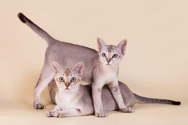 Сингапурская кошка купить