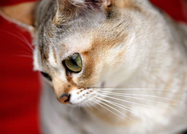 Сингапурская кошка милая порода