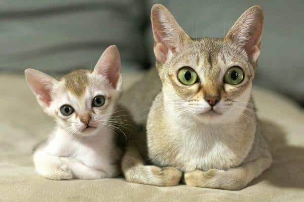 Сингапурская кошка питание