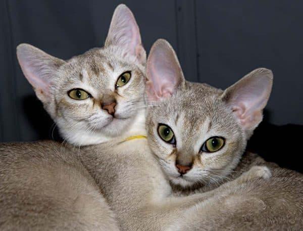 Сингапурская кошка прекрасная порода